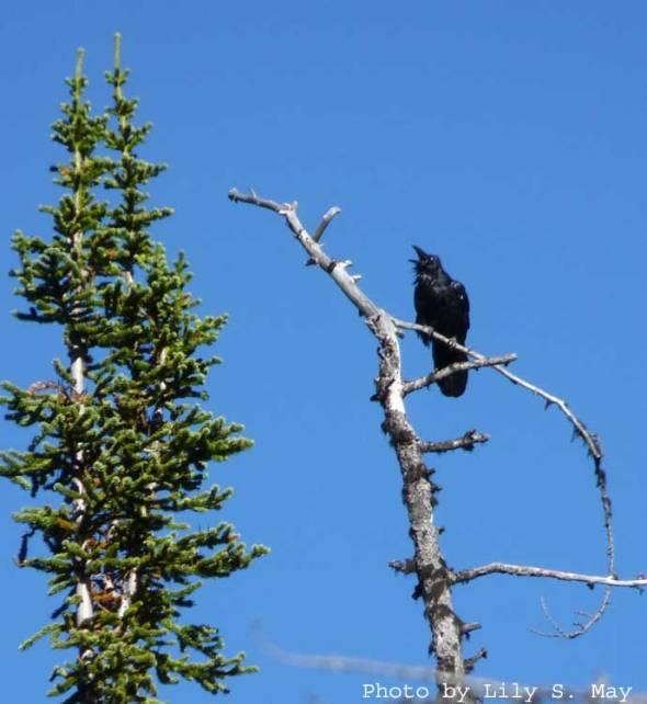 Raven near the Tea House--Plain of Six Glaciers, Sept. 2012