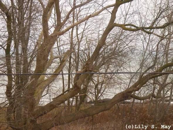 Tree near Lake Ontario