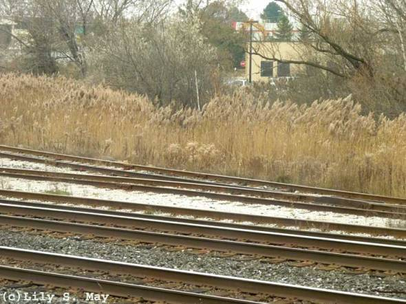 Grasses by the Tracks