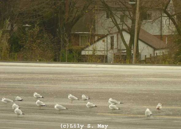 Gulls in a parking lot