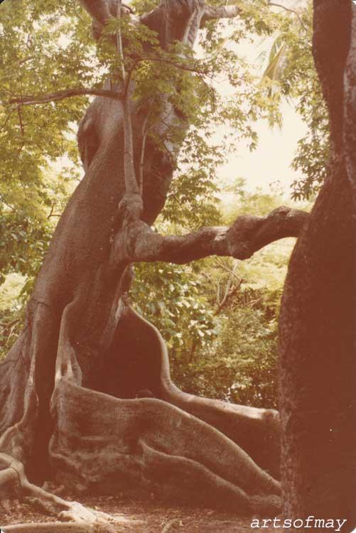 Kapok Tree, St. John, Virgin Islands, 1970s