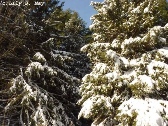 Snow on Conifers at Kortright