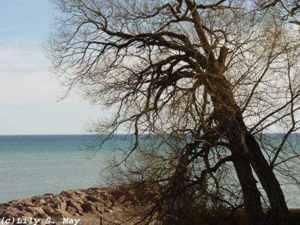 Tree & Lake Ontario