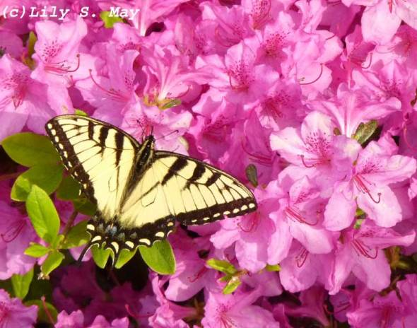 Swallowtail on Azalea