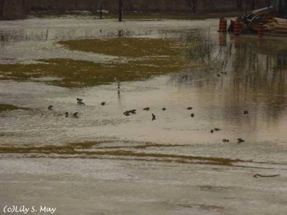 Ducks in melting snow